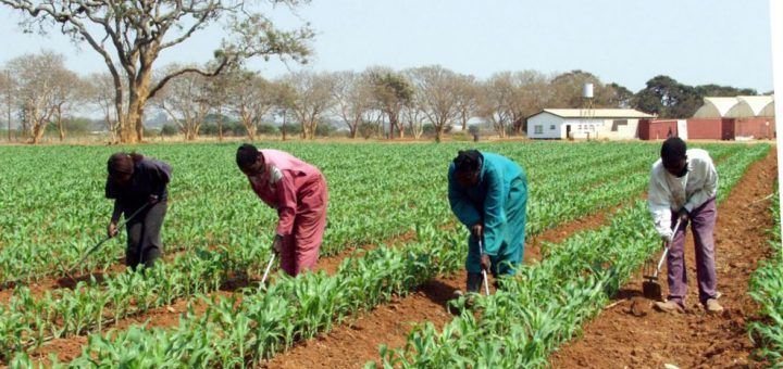 FILE - Farm workers weed a maize field on this farm near Lusaka, Zambia. The high cost of buying food in Zambia has persuaded some small-scale farmers to hang onto their maize, rice and cassava harvests and mill them for their own household use.